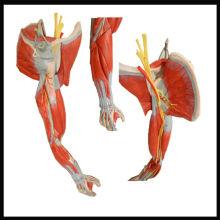 Modelo de anatomía del músculo ISO, músculos del brazo con vasos y nervios principales