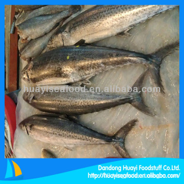 whole spotted spanish mackerel