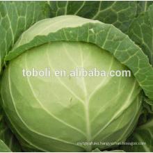 China Fresh cabbage