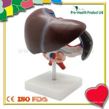 Modelo Anatômico de Fígado Humano Anatômico para Educação