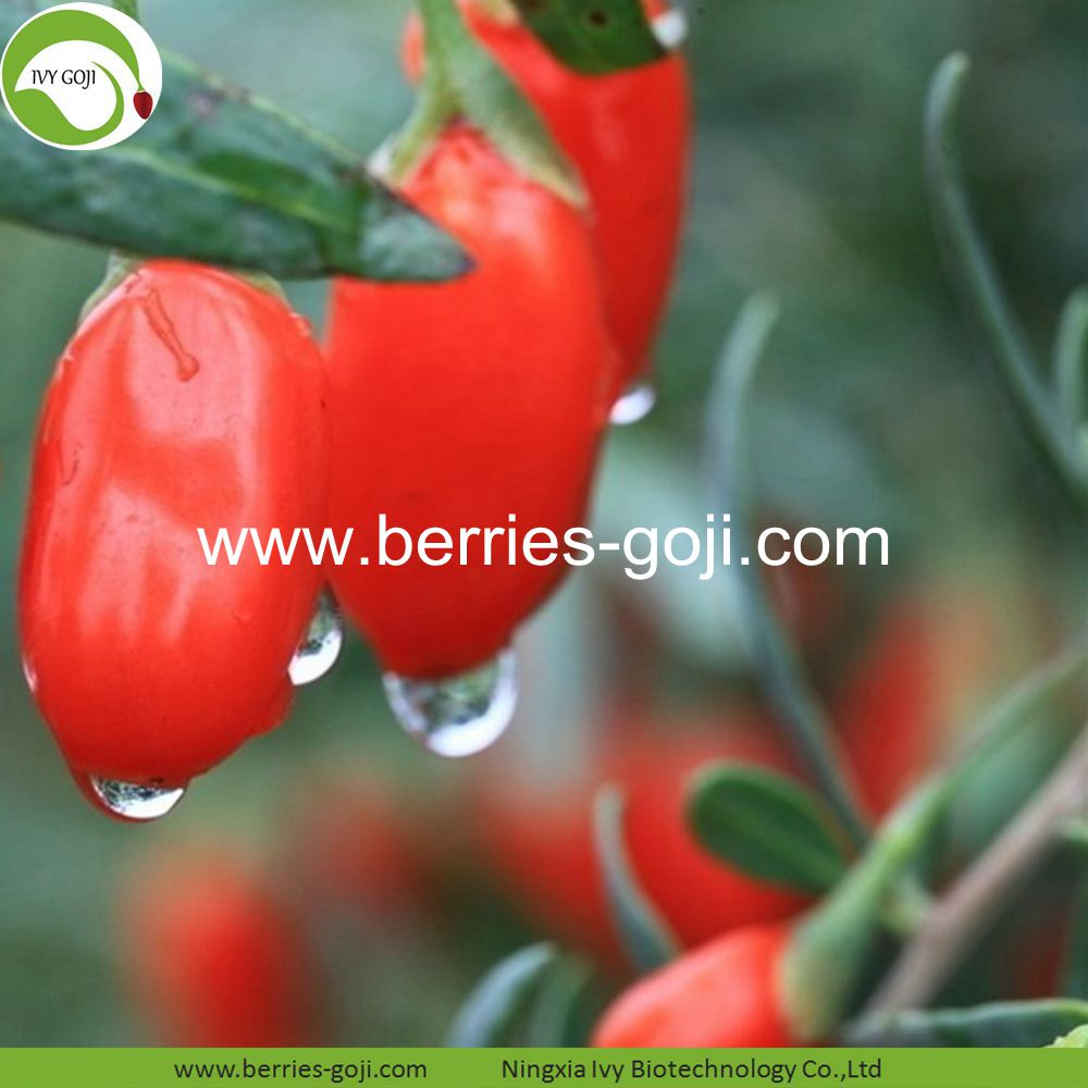 Top Grade Wolfberry