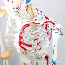 SKELETON03-1 (12363-1) Esqueleto médico médico de tamaño natural de la ciencia médica con los músculos y los ligamentos, modelo del esqueleto de los 170cm