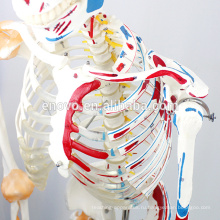 SKELETON03-1 (12363-1) Размер медицинские науки медицинские гибкий скелет с помощью мышц и связок, модели 170см скелет