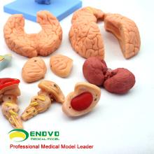 BRAIN06 (12403) 15 piezas de educación médica avanzada Modelo anatómico del cerebro, modelos anatómicos del cerebro