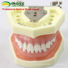 SELL 12563 Anatomical Model Type Dental Study with Soft Gum