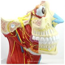 BRAIN03 (12400) Kiefer- und Gesichtschirurgie Anatomische Anatomie Schädel-Hirn-Nervenmodell