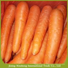 Cenoura fresca a granel com preço baixo