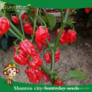 Suntoday cultivo de sichuan agricultor sichuan jalapeno em conserva F1hot pimenta pimentão hebanero sementes vegetal híbrido (22021)