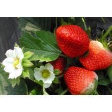 IQF Einfrieren Organische Erdbeere HS-16090905