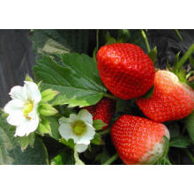 IQF Freezing Organic Strawberry HS-16090905
