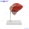 PNT-0569-2 PVC médical élargi en plastique corps organe de la vessie modèle