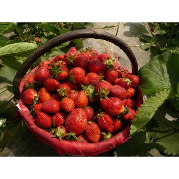IQF Freezing Organic Strawberry HS-16090909
