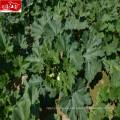 Precio del fabricante al por mayor semillas de calabaza vietnamita