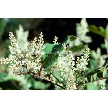Wholesale!! Resveratrol ( Polygonum cuspidatum) in bulk , 20%-98%