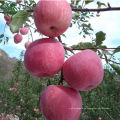 Chinesischer frischer roter saftiger Fuji Apfel frischer Apfel (Gala)