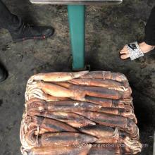 low price calamari  illex squid 200-300g