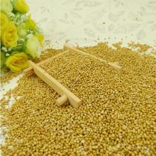 Millet de maïs à balai jaune (millet jaune)