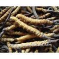 100% naturales y puros cordyceps extracto, salvaje cordyceps sinensis extracto en polvo