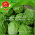 Alta qualidade iceberg lettuce à venda