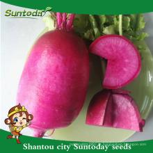 Suntoday agro vegetal rendimento de tempo alto híbrido F1 Cultivo biológico de semente de rabanete medicamento vermelho para agrícola (51001)