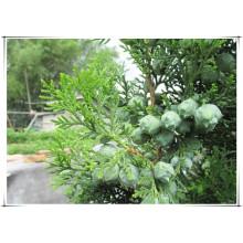 Cacumen Platycladi Orientalis 10: 1 Extract/ Chinese Arborvitae Twig Powder