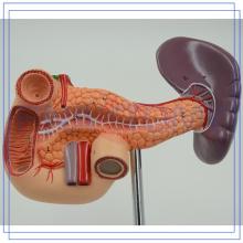 PNT-0470 lebensgroß Pankreas-Modell für Menschen