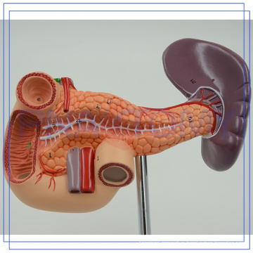 PNT-0470 life size Pancreas model for human