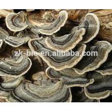 Produit de santé naturel extrait de coriolus versicolor de qualité alimentaire