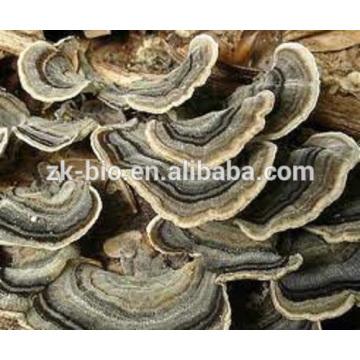 Producto de salud natural coriolus versicolor extracto de calidad alimentaria