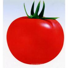 HT43 Quesi tamanho grande f1 híbrido melhor sementes de tomate com alto rendimento para venda