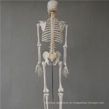 Nuevo producto 3dskeleton model
