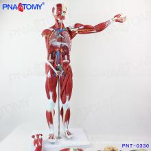 PNT-0330 Mejor precio entrenamiento anatómico ejercicio humano modelo de músculo inducido