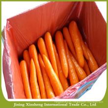 Cenouras vermelhas frescas