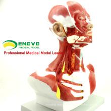 MUSCLE06 (12029) Menschliches anatomisches Muskelmodell von Kopf und Hals 12028