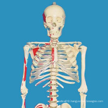 170cm Painted Labeled Full Human Skeleton Medical Model for Demonstration