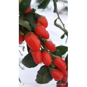 Ningxia Low Price New Crop goji berry