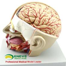 BRAIN04 (12401) Sección de anatomía médica de la cabeza con cerebro, 4 partes, modelos cerebrales 12401