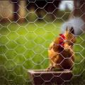 Hexagonal wire chicken wire mesh fence for livestick