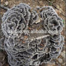 GMP fábrica orgânica nuvem cogumelo extrato em pó
