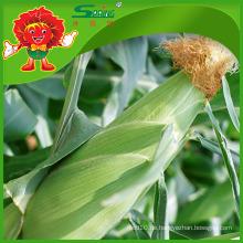 Gefrorene Mais mit hochwertiger Verschmutzung frei Mais