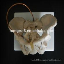 VENTA CALIENTE Modelo de pelvis de demostración de parto de obstetricia