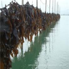 Kelp geschnitten oder Pulver