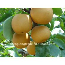 2011 pera asiática fresca embalada em cartão