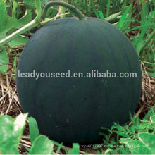 W08 Midu medium-early maturity seedless watermelon seeds, national approved variety