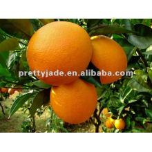 Mandarin de bébé frais chinois