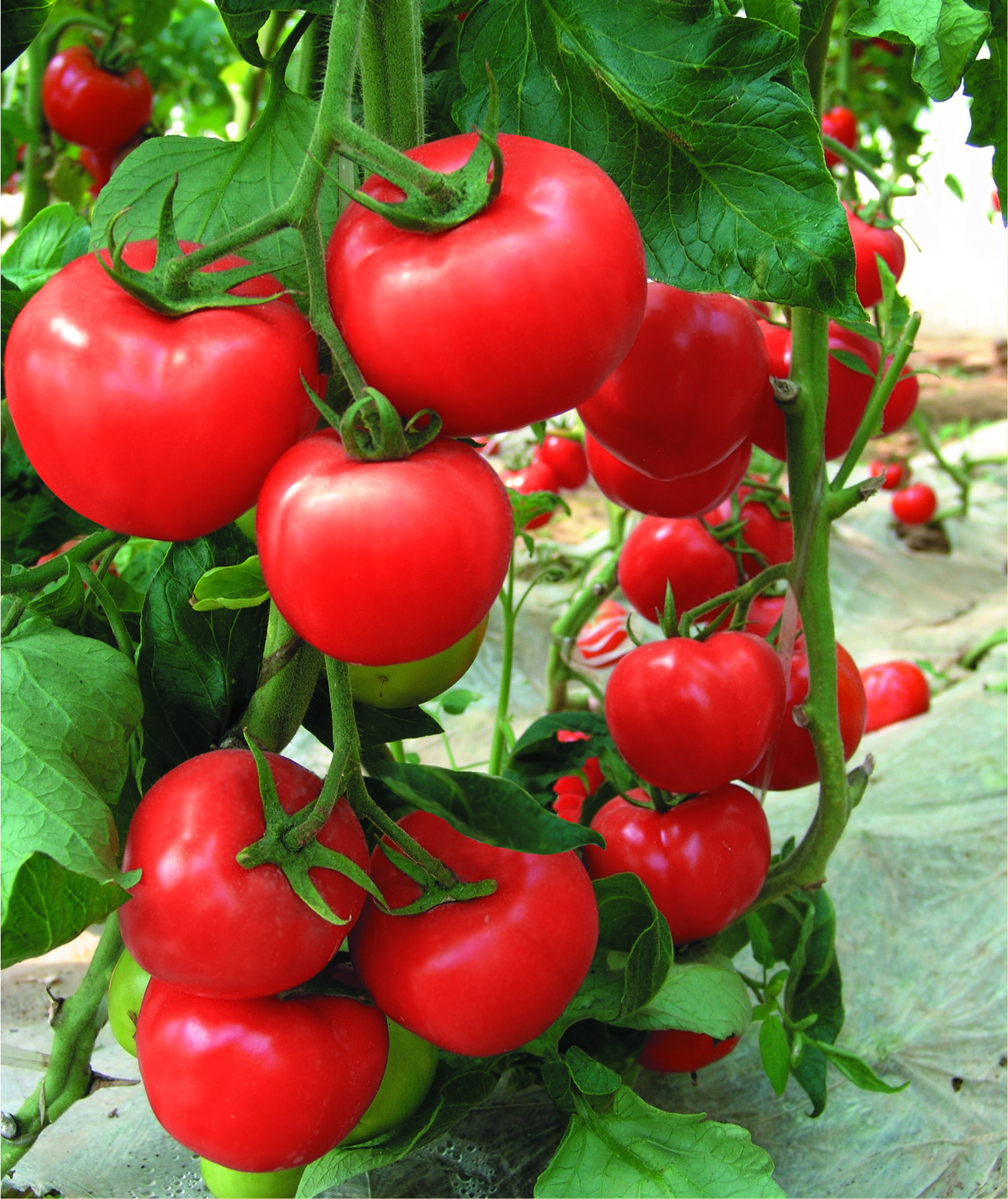 Chinese determinate tomato Vegetable Seeds