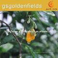 Graines de Gojierry jaunes avec système de racine forte de Chine en vente