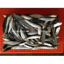 W / R Kleine Spezifikation Frische gefrorene Sardine Fisch für Dosen