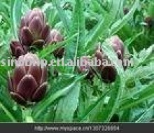 GMP Manufacturer Supply 100% Natural Artichoke Leaf Extract