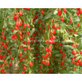 ningxia wolfberry/gojiberry in bulk, organic goji berry